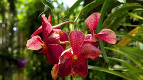 Blooming twig of tiger orchid. Beautiful stem of vibrant tiger colored orchid flowers stock video