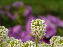 Beautiful Stem of White Flowers with Purple Background Stock Images
