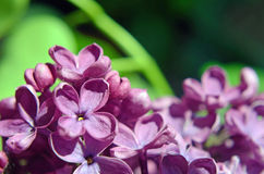 Beautiful still life with flower lilac close up. Postcard backgr Royalty Free Stock Photography