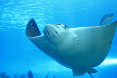Beautiful stingray Stock Images