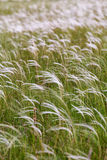 Beautiful stipa field in the wind Royalty Free Stock Photos