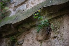 Old stone wall with one flower. Beautiful stone walls. Old stone wall with one flower stock photography