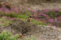 Beautiful Stonechat bird saxicola torquata perched near coast Stock Images