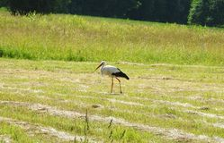 Stork bird walking in meadow, Lithuania Stock Photography