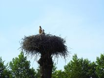 Stork bird with kid in nest, Lithuania Stock Photography