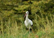 Beautiful stork in the middle of the grass Stock Image