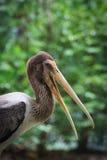 Beautiful stork opening its long bills Royalty Free Stock Photo