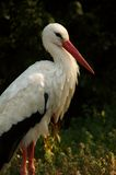 Beautiful stork portrait. White stork captures in a german zoo Royalty Free Stock Photo