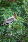 Beautiful stork standing on top of tree Royalty Free Stock Photos