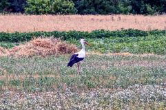 A beautiful stork walks through a meadow with grass and flowers Stock Photography