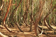 Free Beautiful Strange Crooked Forest Stock Photos - 194609943