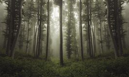 Beautiful strange forest with fog through beech trees Stock Image