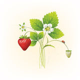 Beautiful strawberries. Illustration of a realistic Stock Image