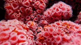 Beautiful strawberry anemone underwater stock footage