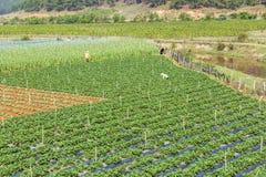 Beautiful strawberry farm royalty free stock image