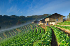Beautiful strawberry farm and thai farmer house on hill