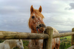 A Beautiful Strawberry Roan/ Orange or Red Horse Pulls a Silly Face Stock Photos