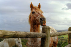 Beautiful Strawberry Roan/Red or Orange Horse Pulls A Funny Face Stock Photography