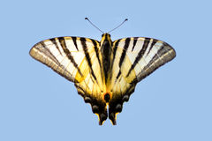 Beautiful striped butterfly on a light blue background. Beautiful striped butterfly with long antennas on a light blue background Stock Images