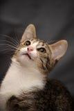 Beautiful striped cat Royalty Free Stock Photos