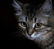 Beautiful striped cat on a black background, portrait stock images