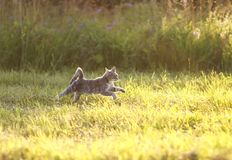 beautiful striped cat is a fun and graceful running through a summer meadow, raising his paws royalty free stock images