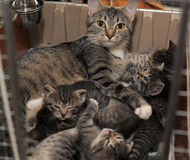 Tabby cat with kittens. Beautiful striped cat with kittens royalty free stock photos