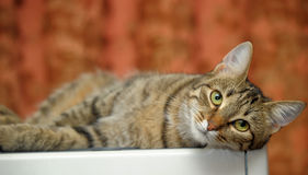 Beautiful striped cat Stock Images