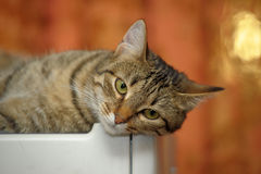 Beautiful striped cat Stock Photography