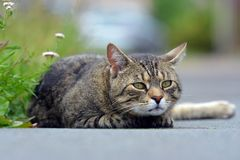 Beautiful striped cat lying on the street Royalty Free Stock Images