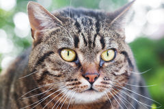Beautiful striped cat outdoor Royalty Free Stock Photography