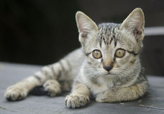 Beautiful striped cat relaxing. On a wooden Royalty Free Stock Photos
