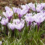 Flowering beautiful bright crocuses. Beautiful striped crocuses, the first to bloom in spring royalty free stock image