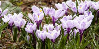 Flowering striped bright crocuses. Beautiful striped crocuses, the first to bloom in spring Royalty Free Stock Photo