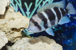 Beautiful striped fish in the aquarium. Selective focus. Royalty Free Stock Images
