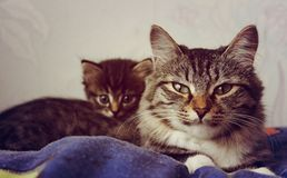 Striped gray cat with big eyes Royalty Free Stock Image