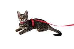 Beautiful striped kitten on a leash. Isolated on white background Stock Image
