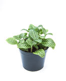 Beautiful striped leaf ornamental plants close up on white background stock photography