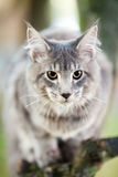 Beautiful striped maine coon cat Stock Photography