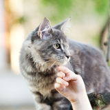 Beautiful striped maine coon cat Royalty Free Stock Photos