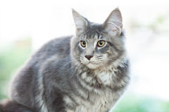 Beautiful striped maine coon cat Stock Image