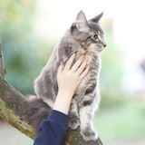 Beautiful striped maine coon cat Stock Photo