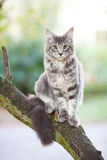 Beautiful striped maine coon cat Stock Photos