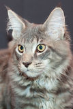 Beautiful striped maine coon cat Stock Images