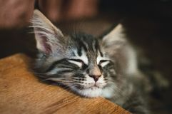 Beautiful striped Maine-coon kitten is sleeping. royalty free stock images