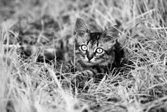 A beautiful striped playing and hunting kitten of unknown breed in the grass in the open air Stock Photo