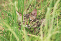 A beautiful striped playing and hunting kitten of unknown breed in the grass in the open air Stock Photos
