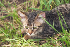 A beautiful striped playing and hunting kitten of unknown breed in the grass in the open air Stock Images