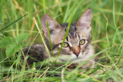 A beautiful striped playing and hunting kitten of unknown breed in the grass in the open air Royalty Free Stock Image