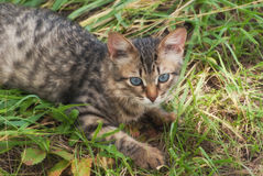 A beautiful striped playing and hunting kitten of unknown breed in the grass in the open air Royalty Free Stock Photos